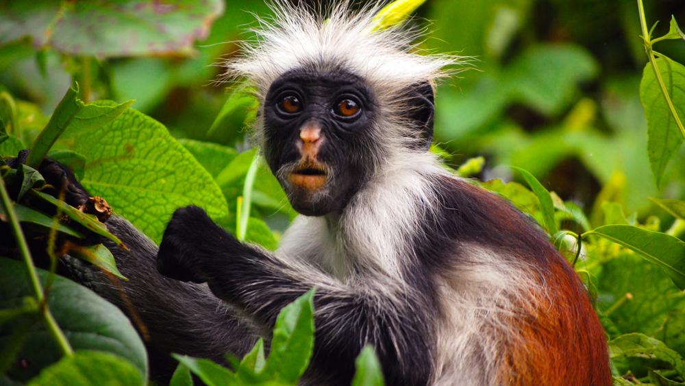 Red Colobus Monkey (Procolobus kirkii) in Jozani Forest, Zanzibar, Tanzania