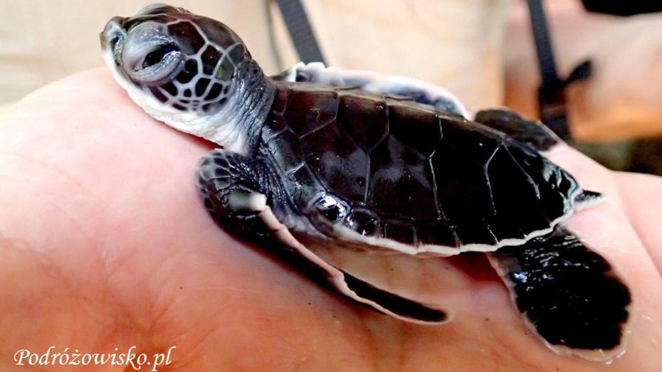 Farma-żółwi-w-Kosgoda-12 podrozowisko