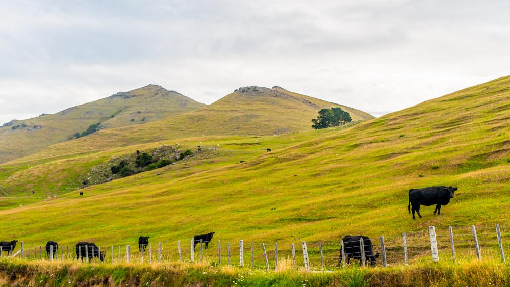 Nowa Zelandia Akaroa-36