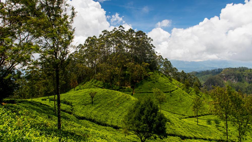 Plantacje herbaty Sri lanka-10