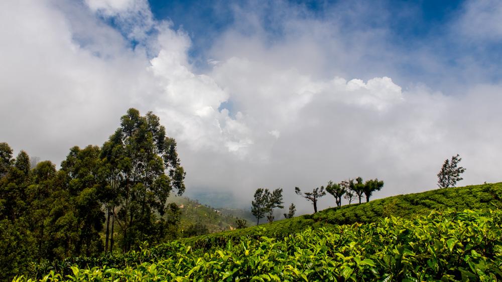 Plantacje herbaty Sri lanka-16
