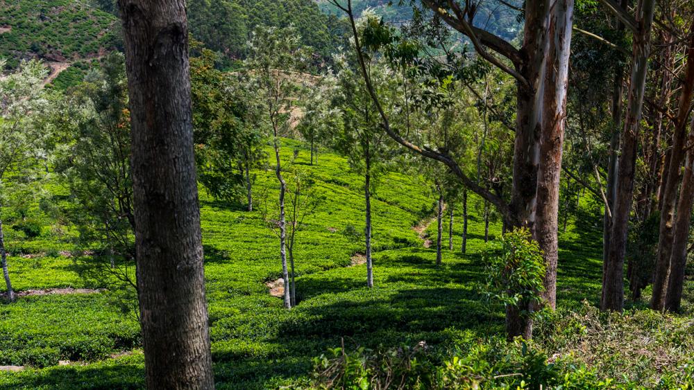 Plantacje herbaty Sri lanka-19
