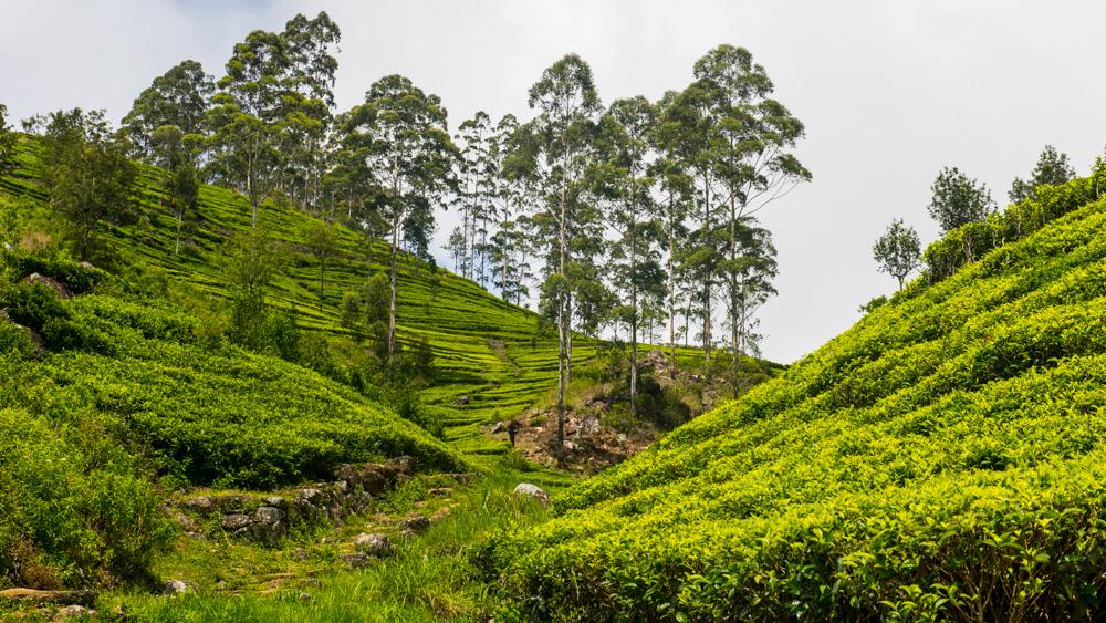 Plantacje herbaty Sri lanka-23