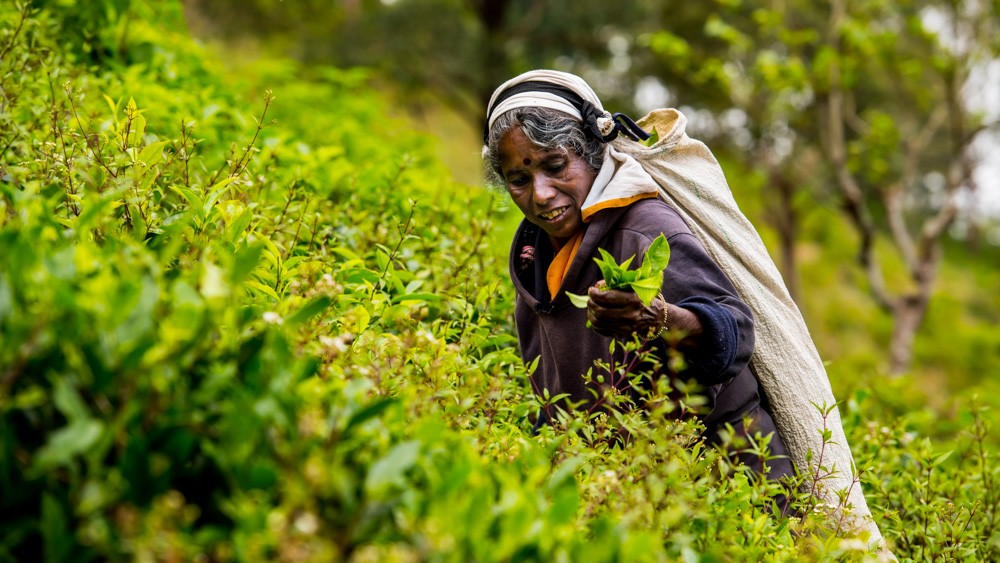 Plantacje herbaty Sri lanka-35