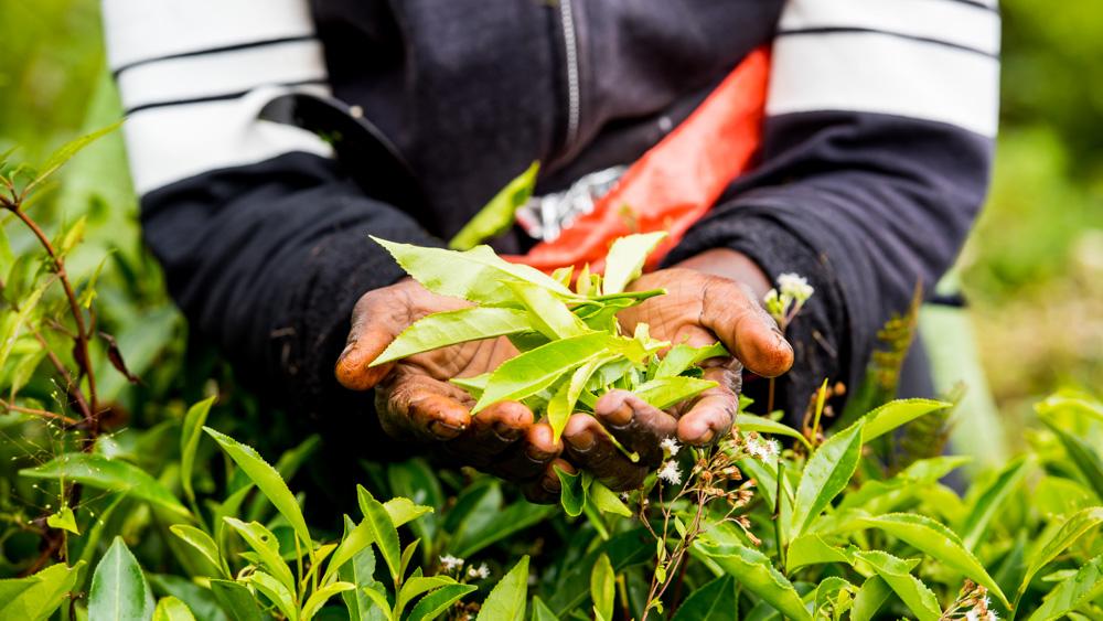 Plantacje herbaty Sri lanka-36