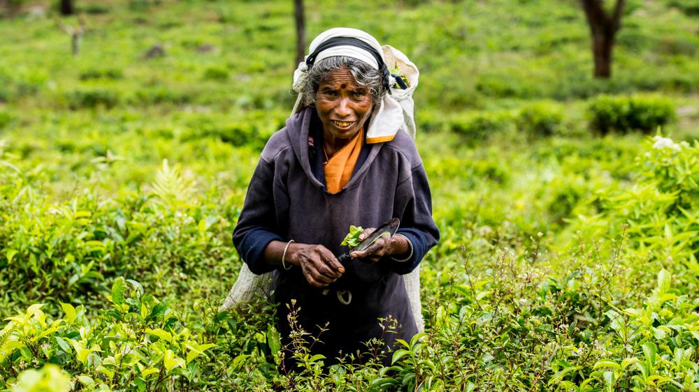 Plantacje herbaty Sri lanka-37