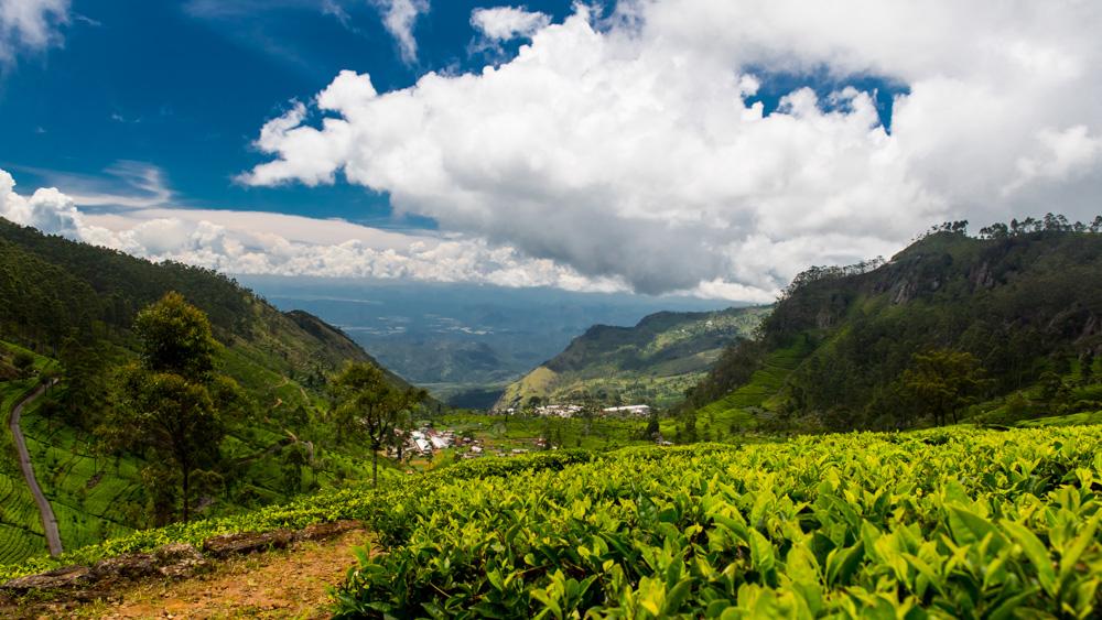 Plantacje herbaty Sri lanka-5