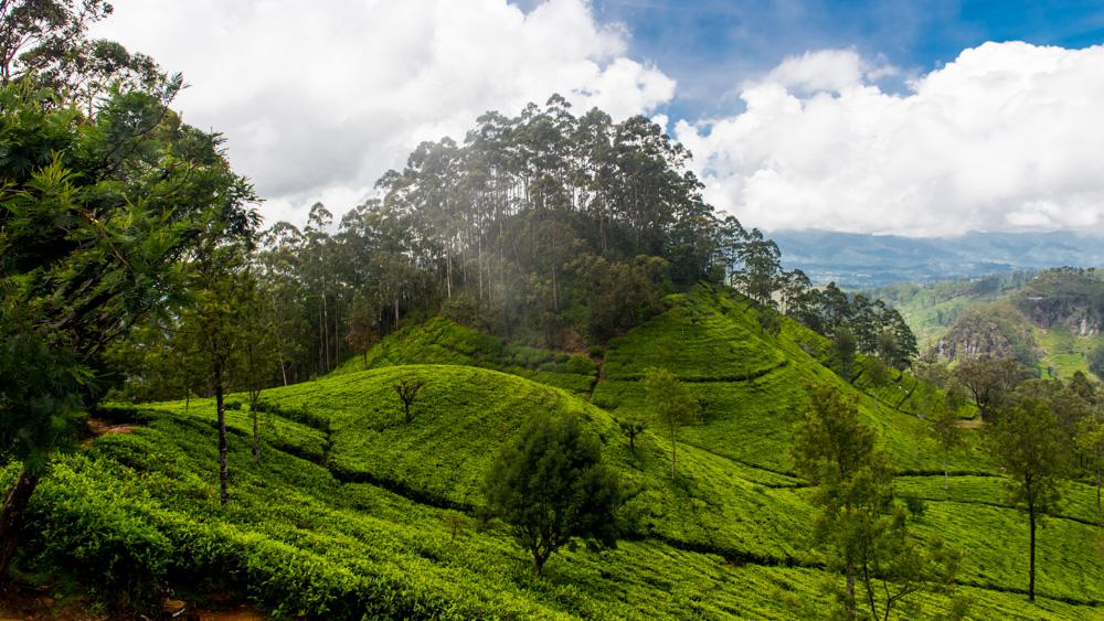 Plantacje herbaty Sri lanka-7