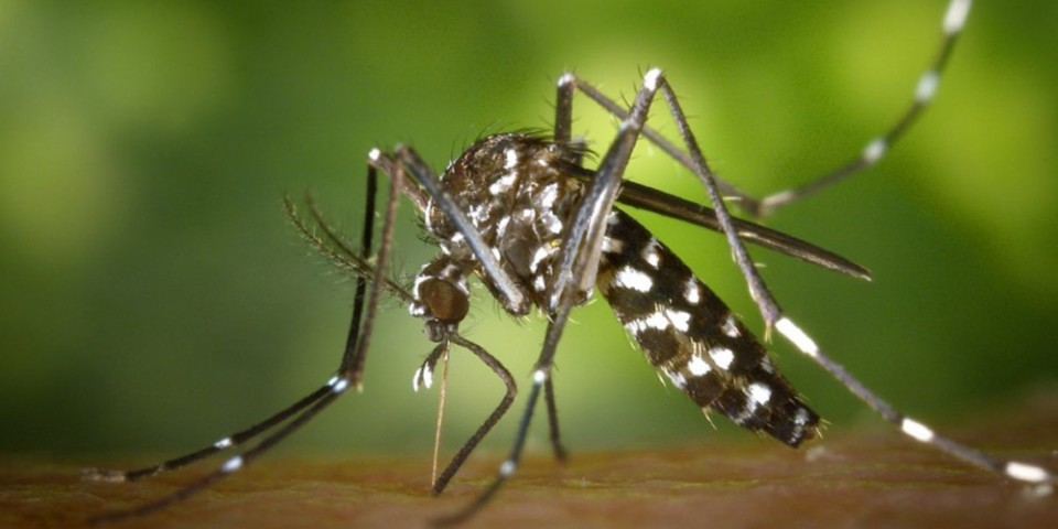 Asian-tiger-mosquito-CDC-Hi-Res-868x575-1440x953-2