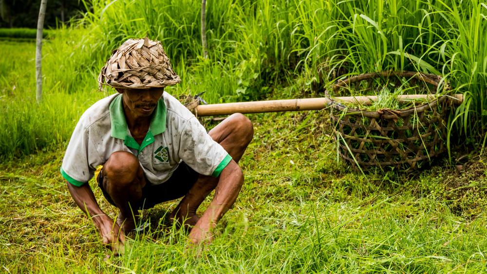 Tarasy ryzowe Tegalalang-1