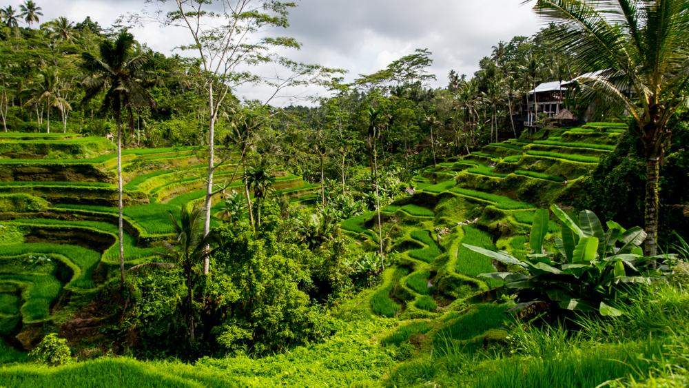 Tarasy ryzowe Tegalalang-4