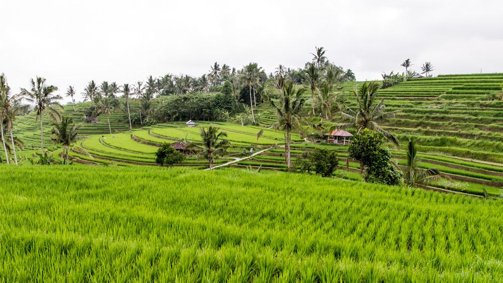 Najpiekniejsze Tarasy Ryżowe Bali-1
