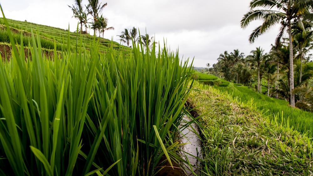Najpiekniejsze Tarasy Ryżowe Bali-10