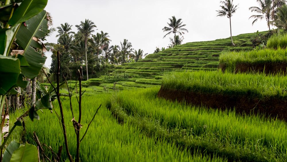 Najpiekniejsze Tarasy Ryżowe Bali-12
