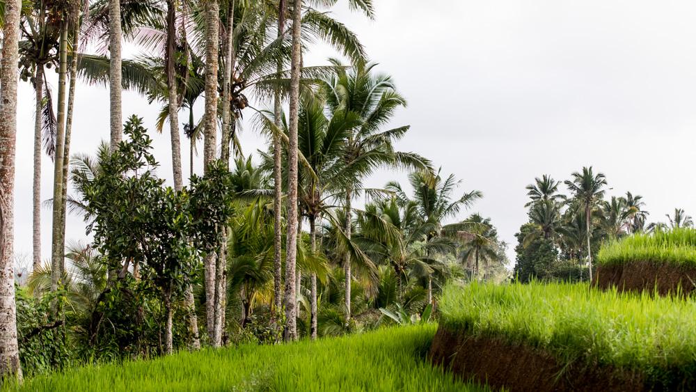 Najpiekniejsze Tarasy Ryżowe Bali-13