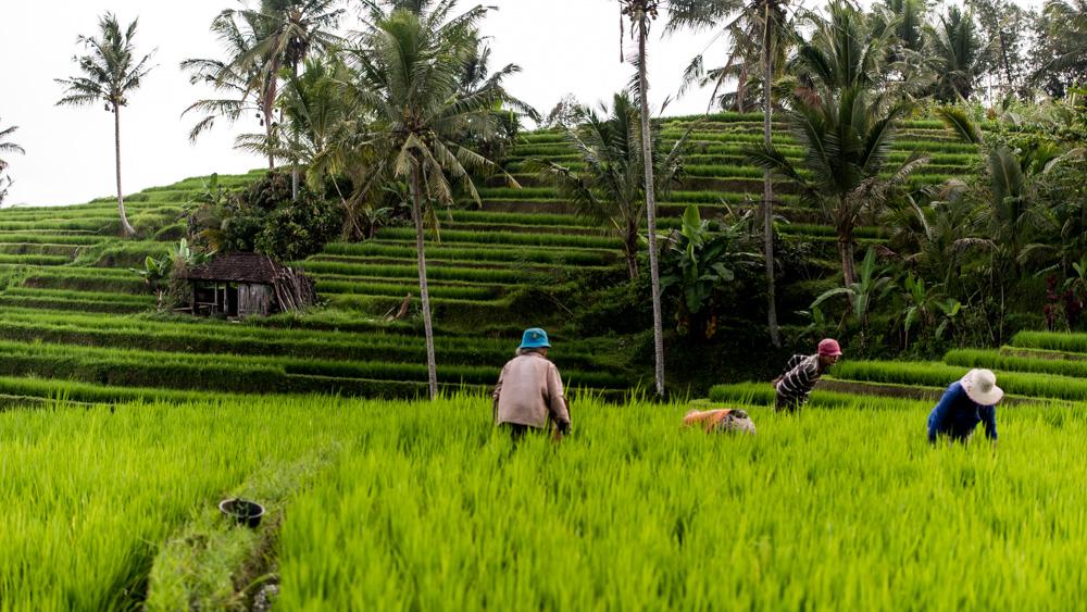 Najpiekniejsze Tarasy Ryżowe Bali-18
