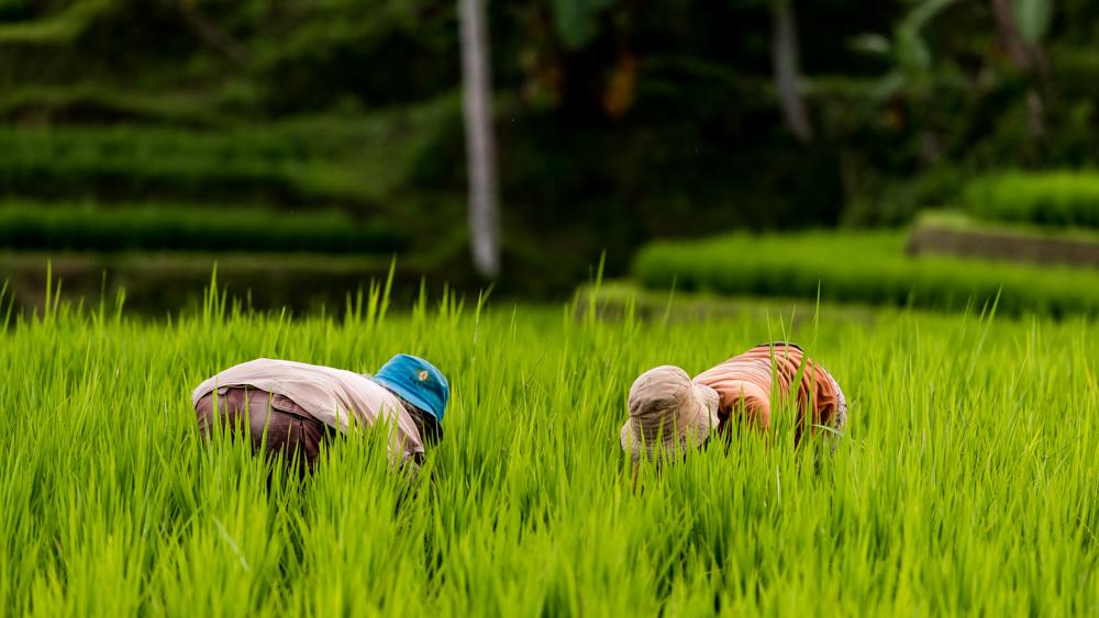 Najpiekniejsze Tarasy Ryżowe Bali-19