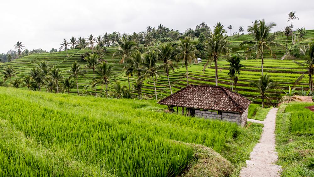 Najpiekniejsze Tarasy Ryżowe Bali-3