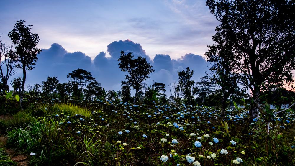 Pola hortensji Bali-1