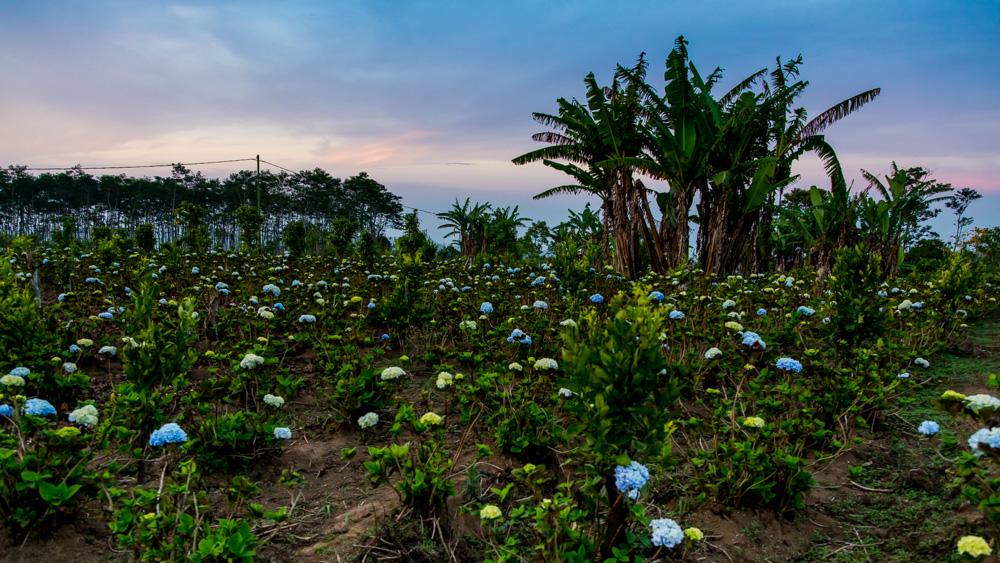 Pola hortensji Bali-2