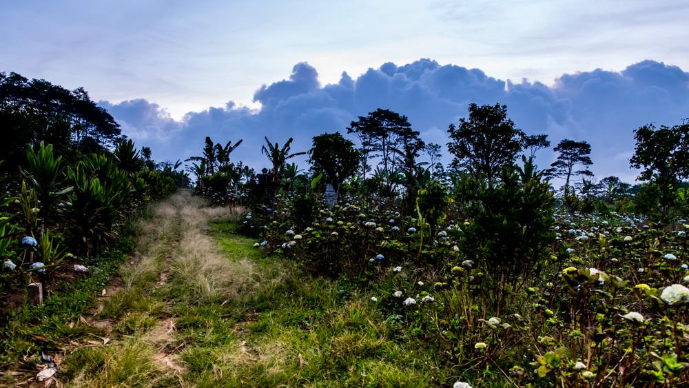 Pola hortensji Bali-3