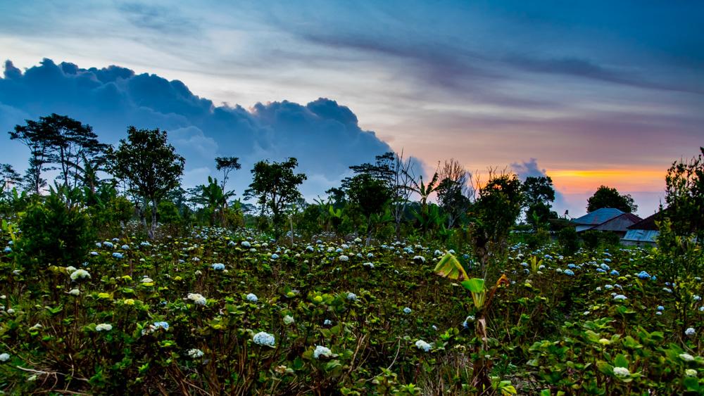 Pola hortensji Bali-4