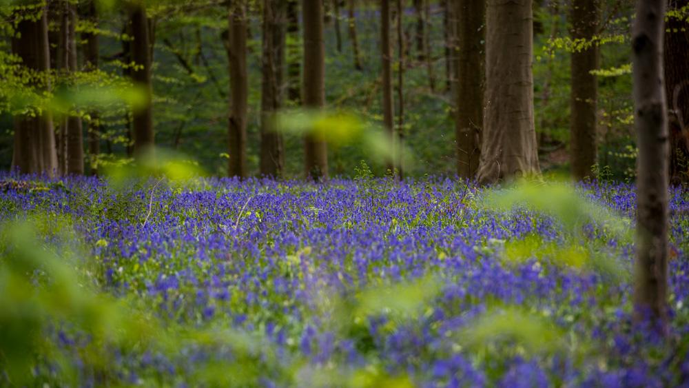 Niebieski Las Belgia-13