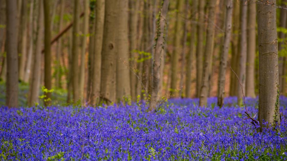 Niebieski Las Belgia-8