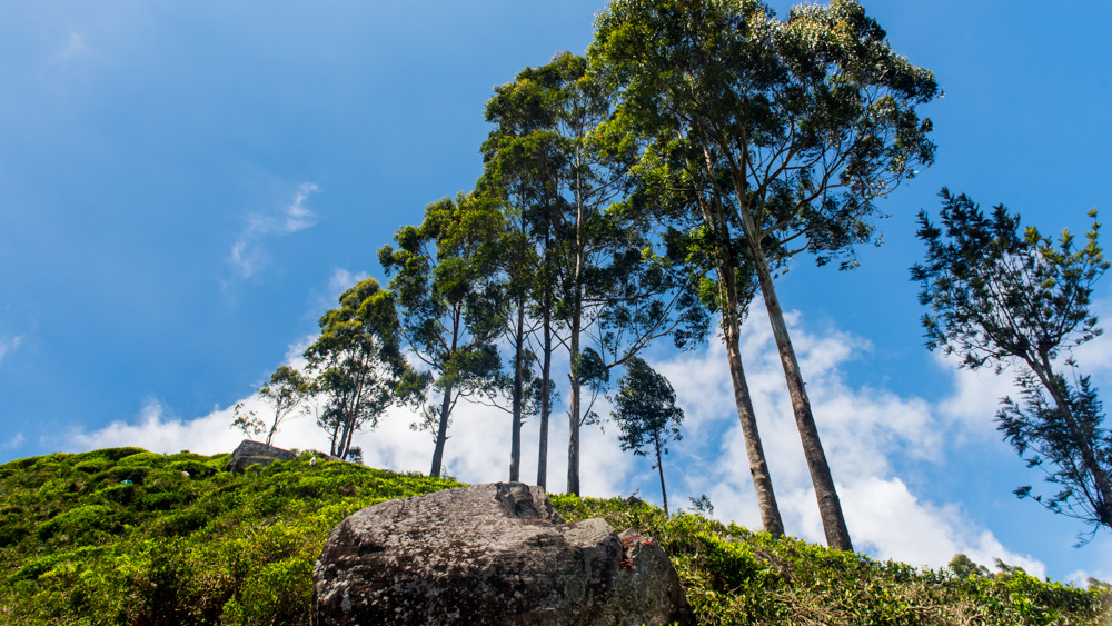 Plantacje herbaty Sri lanka-18