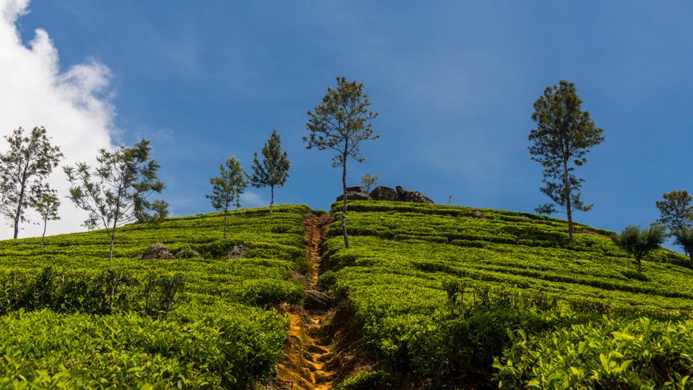 Plantacje herbaty Sri lanka-20
