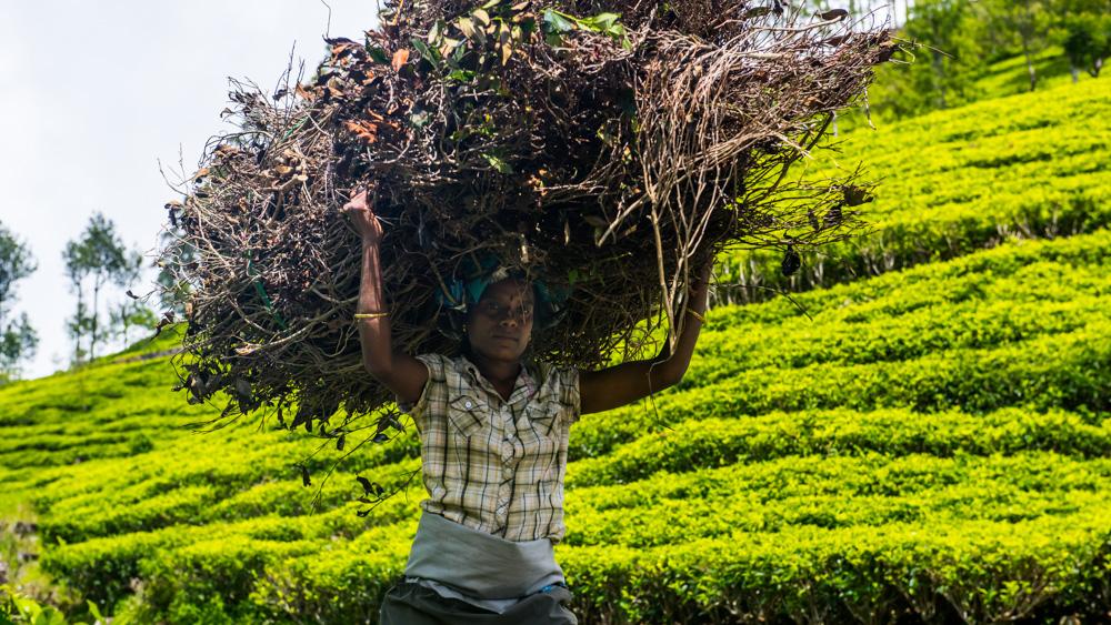 Plantacje herbaty Sri lanka-24