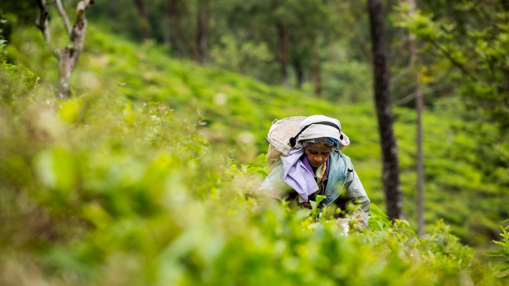 Plantacje herbaty Sri lanka-34
