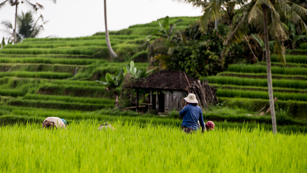 Najpiekniejsze Tarasy Ryżowe Bali-16