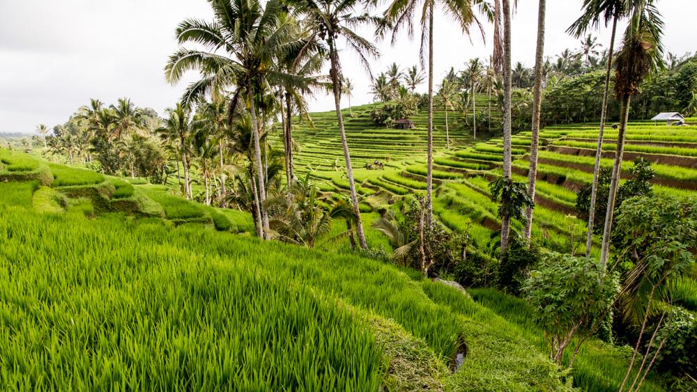 Najpiekniejsze Tarasy Ryżowe Bali-7