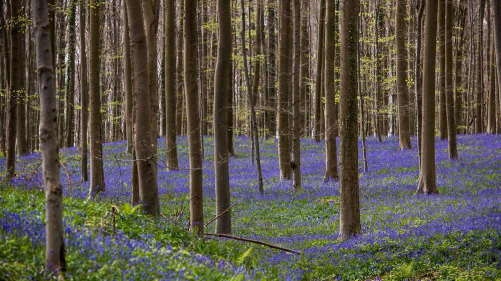 Niebieski Las Belgia-10