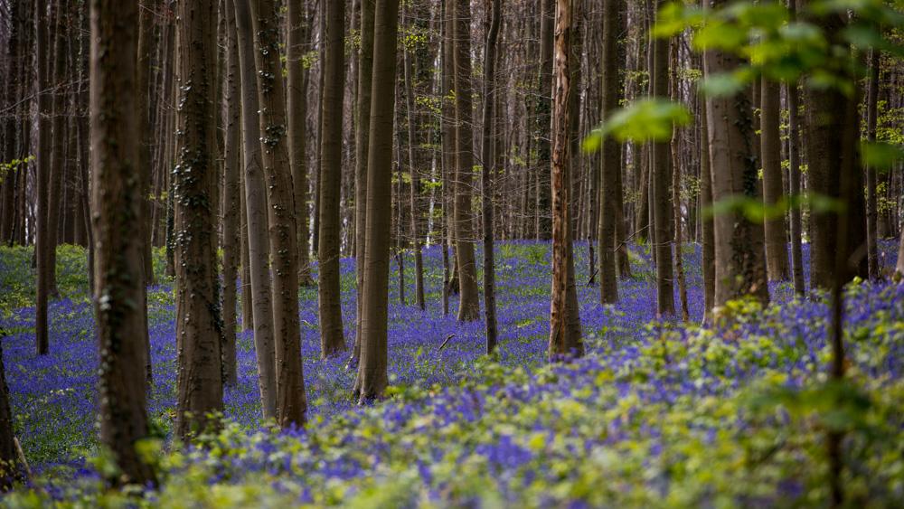 Niebieski Las Belgia-11