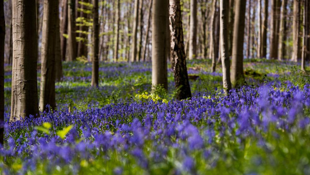 Niebieski Las Belgia-12