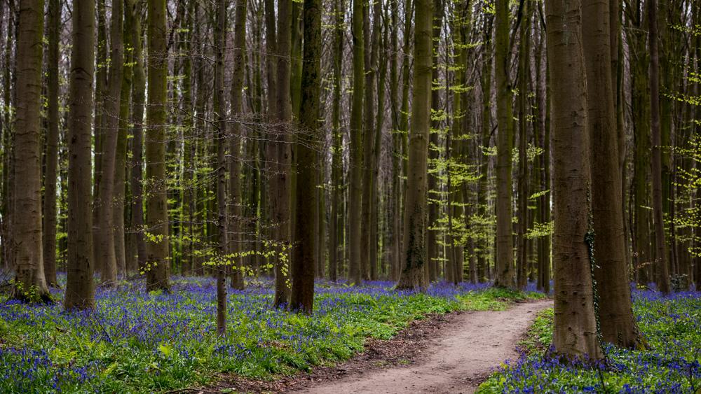 Niebieski Las Belgia-17