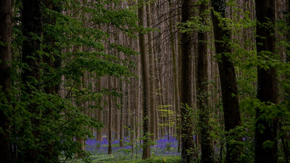 Niebieski Las Belgia-20