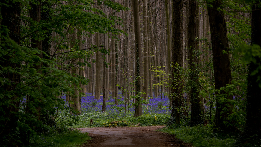 Niebieski Las Belgia-21