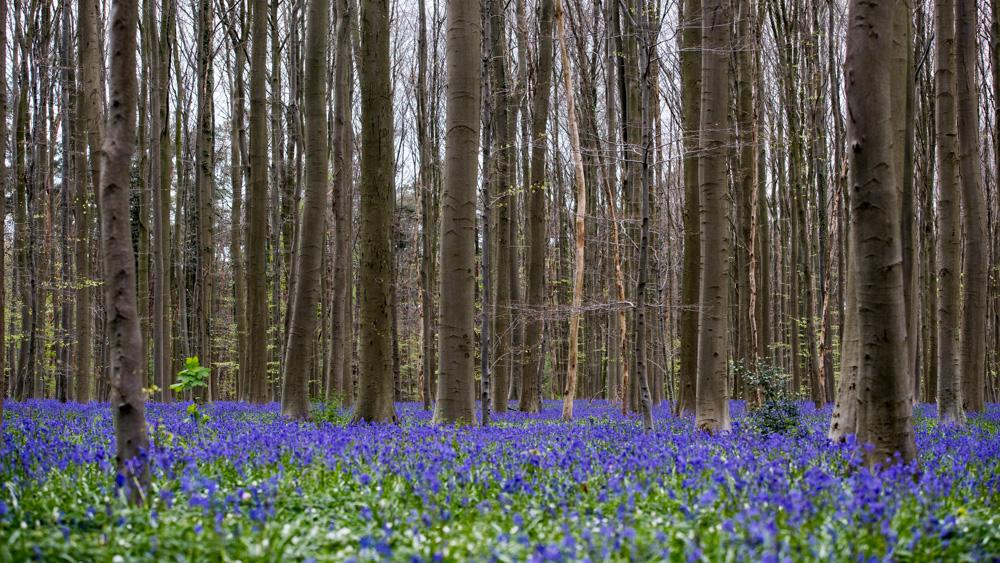 Niebieski Las Belgia-23