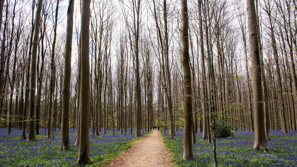 Niebieski Las Belgia-25