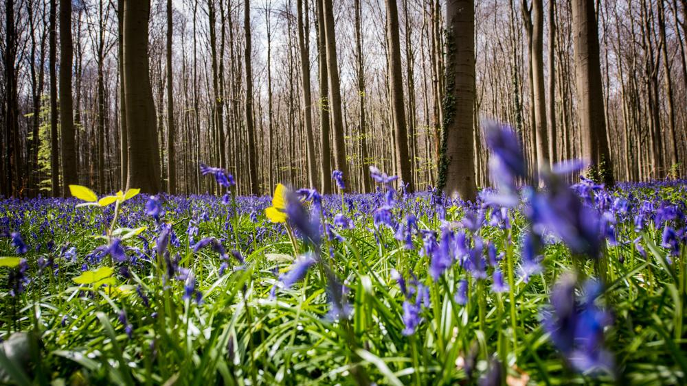 Niebieski Las Belgia-4