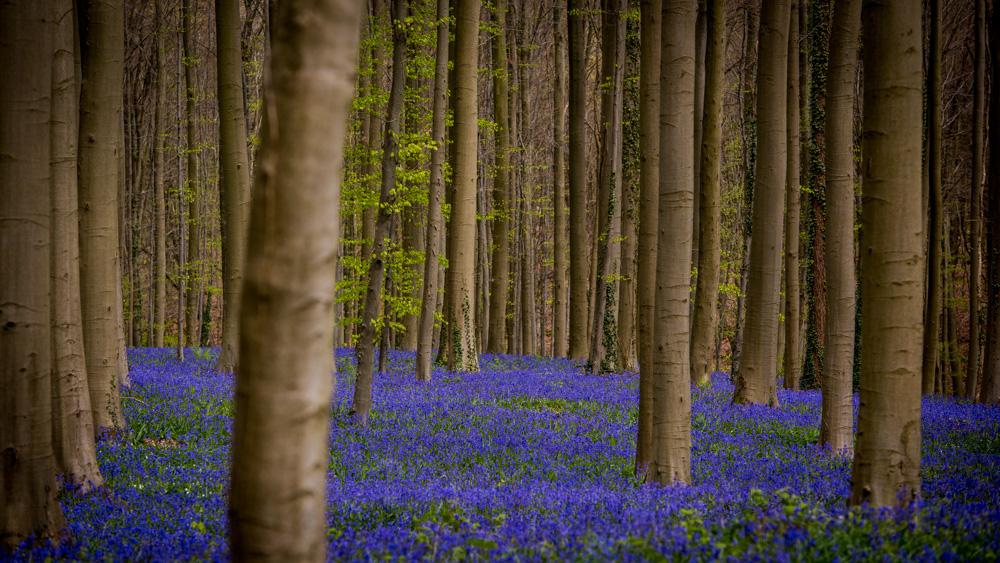 Niebieski Las Belgia-6