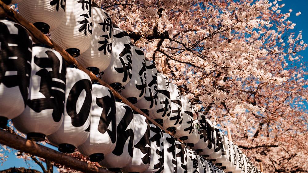kwitnace wisnie w Tokio