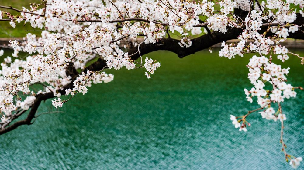Japonia Tokio kwitnace wisnie