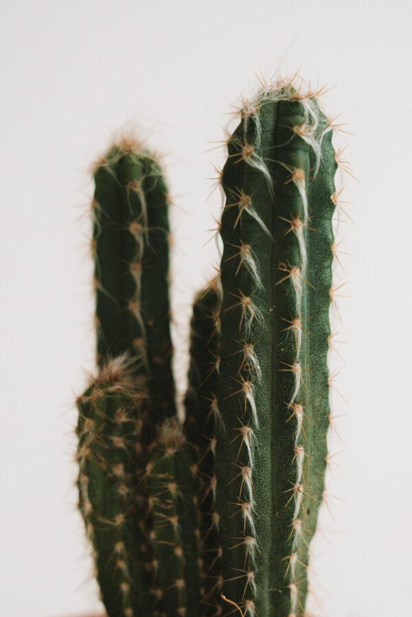 Plakat kaktus na sciane