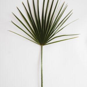 Lisc palmy